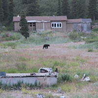 Black bear at Davis Inlet